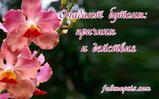 Орхидея сбрасывает бутоны