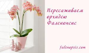 Пошаговое руководство по пересадке фаленопсиса для чайников