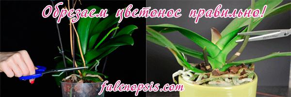 Обрезаем цветонос у орхидеи фаленопсис