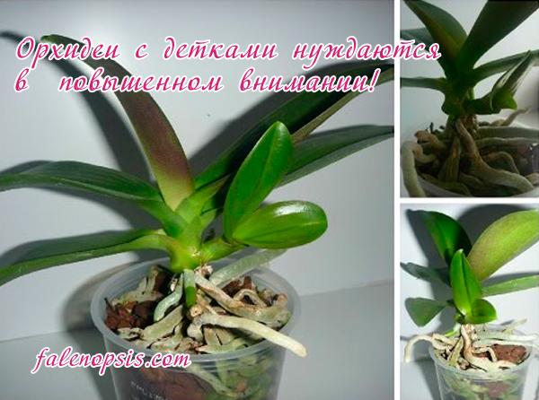 Прикорневая детка орхидеи