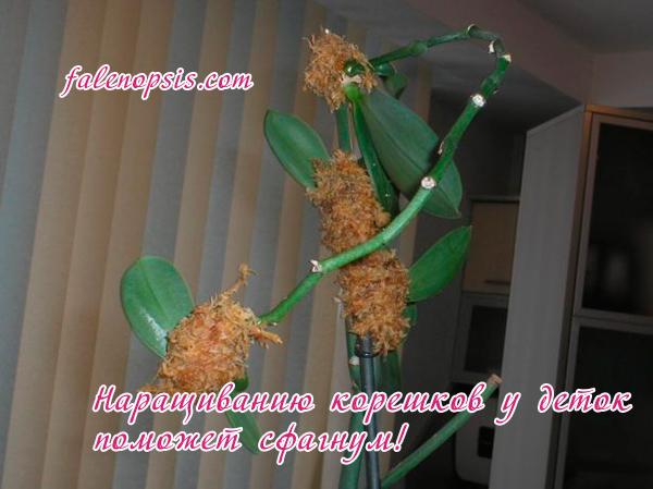 Наращивание корней у деток орхидеи фаленопсис