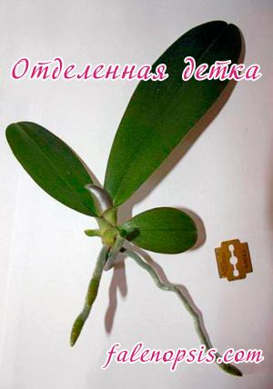 Отделенная детка орхидеи фаленопсис