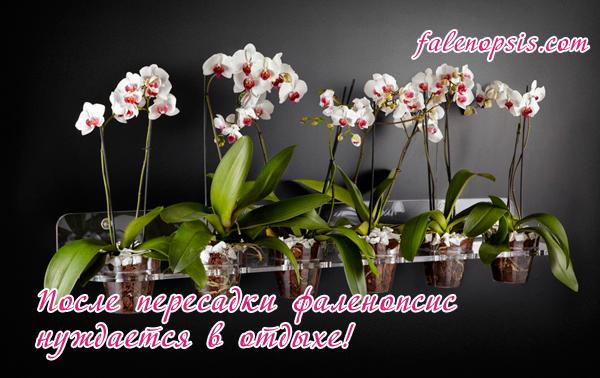 Уход за пересаженной орхидеей фаленопсис
