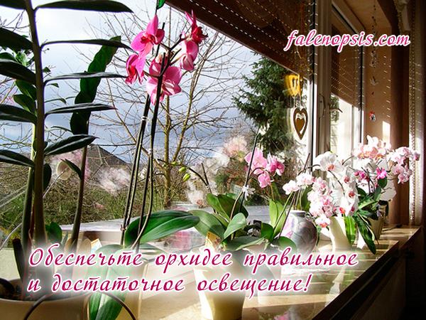 Световой режим для орхидеи фаленопсис