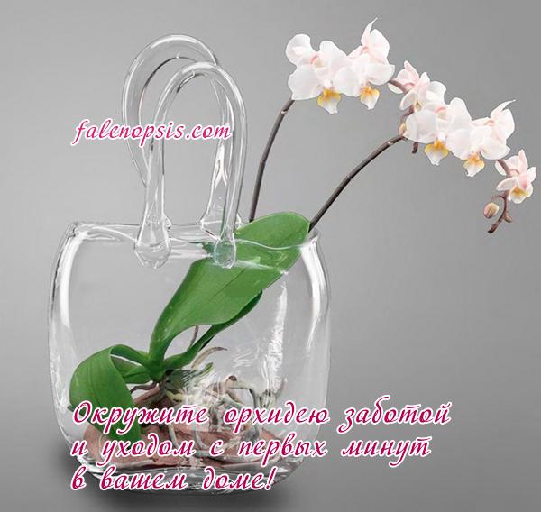 Уход за орхидеей фаленопсис после покупки