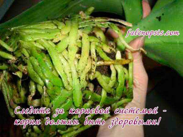 Здоровые корни орхидеи