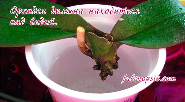 Реанимация орхидеи над водой