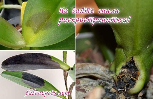 Бактериальная гниль у орхидей