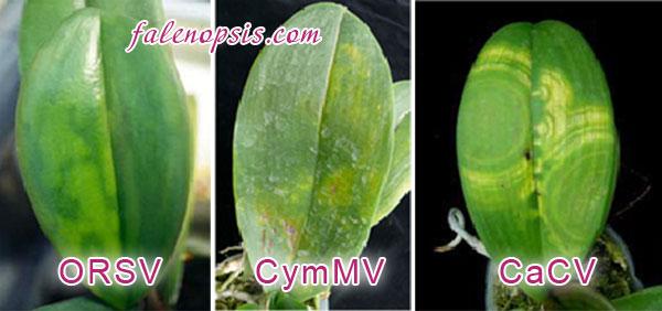 Вирусные заболевания орхидей
