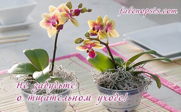 Уход после применения цитокининовой пасты для орхидей