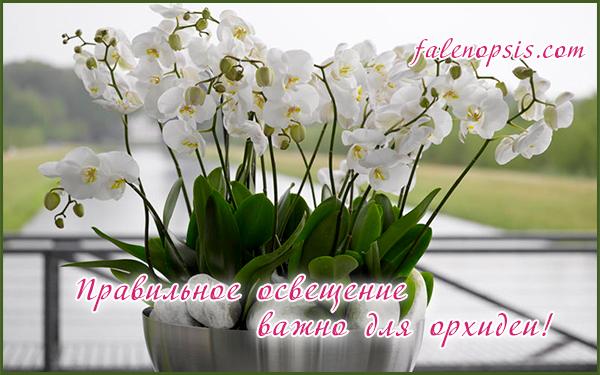Опадают бутоны у орхидей