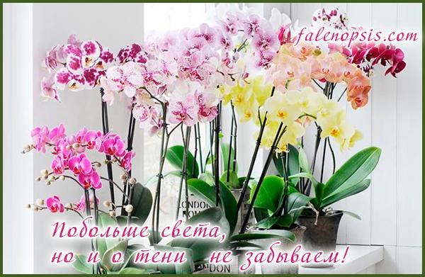Опадают бутоны у орхидей - неправильное освещение