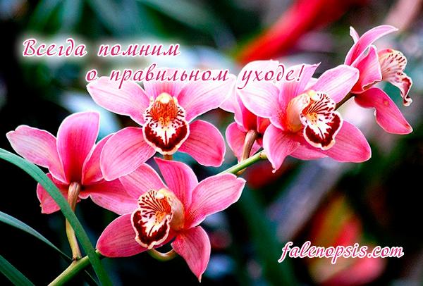 Опадают бутоны у орхидей - правильный уход