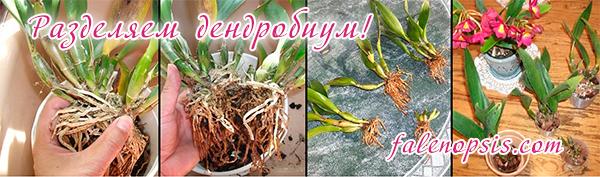 Размножение орхидеи дендробиум