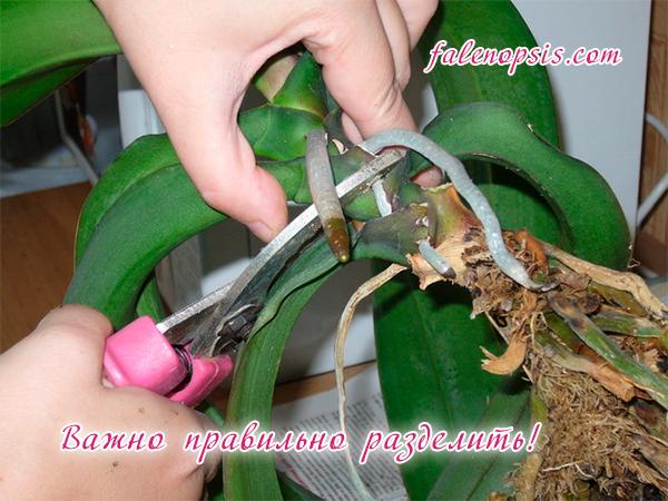 Размножение орхидей разделением куста
