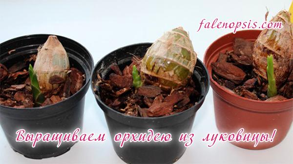 Размножение орхидей луковицами