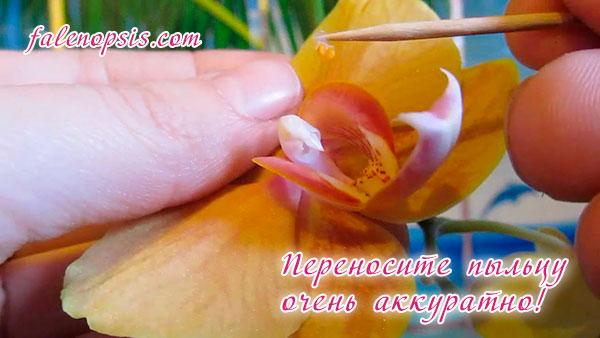 Опыление орхидеи для размножения семенами