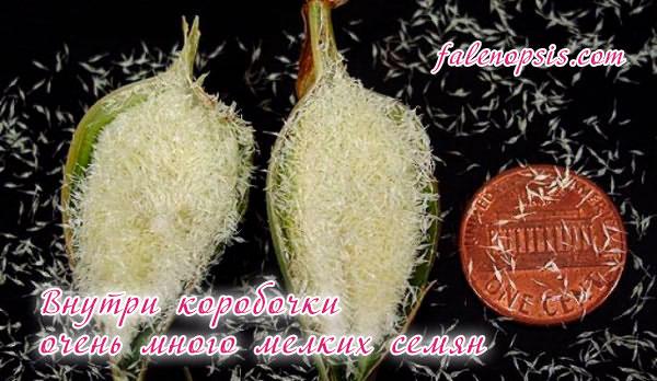 Размножение орхидеи семенами